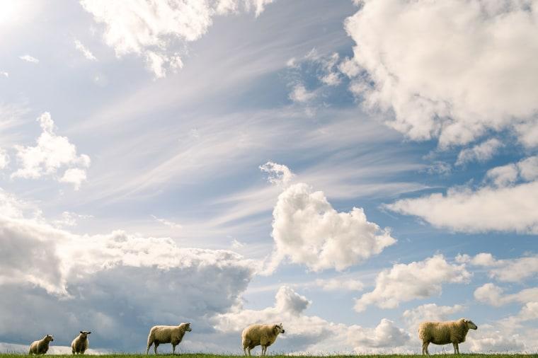 Image: BESTPIX - GERMANY-WEATHER-ANIMALS-SHEEP