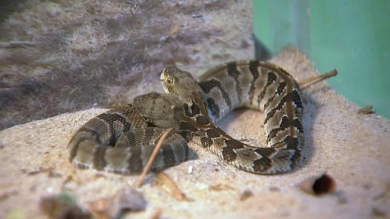 The two-headed timber rattlesnake (Crotalus horridus).