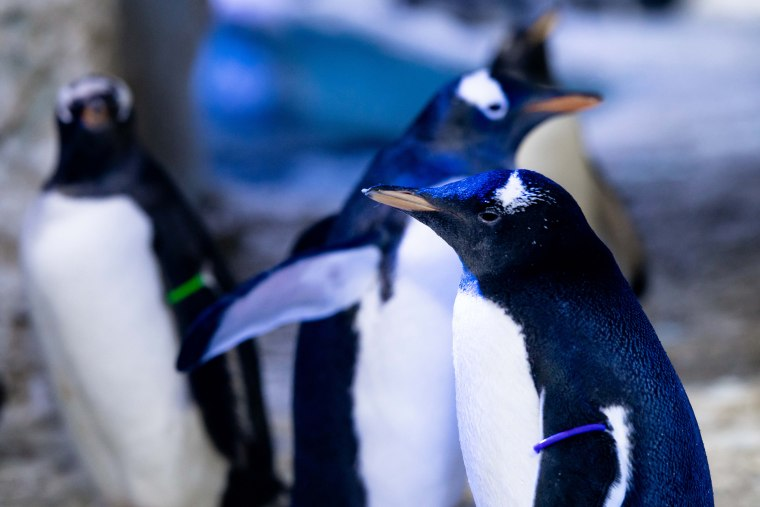SEA LIFE London Aquarium's first Gentoo penguin to not have its gender assigned with its adoptive female parents Rocky and Marama.