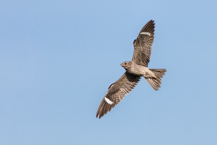 Image: Common Nighthawk