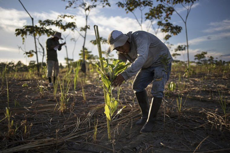 Image:  A reforestation assistant measures a newly-planted tree in a field damaged during illegal gold mining in Madre de Dios, Peru