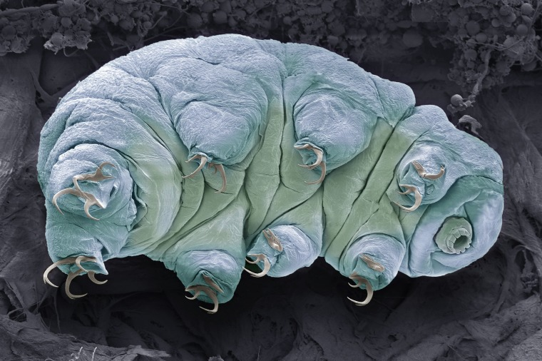 What is a tardigrade?