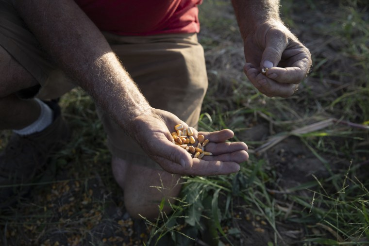 David Lieth, who lost thousands of bushels of corn he stored in his grain bins to the floodwaters that struck southwest Iowa, picks up a few kernels of spoiled corn that he had spread on his own land because it was the only way he could dispose of it..