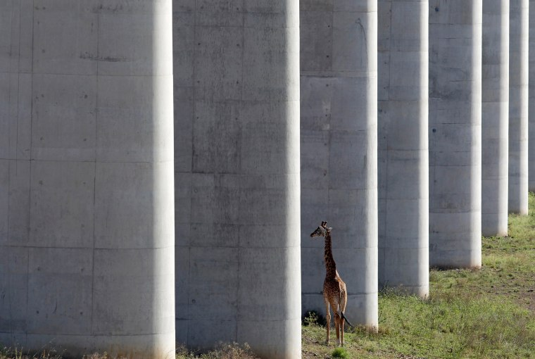 Image: A giraffe walks near the elevated railway line that allows movement of animals below the Standard Gauge Railway line linking Nairobi and Naivasha inside the Nairobi national park in Nairobi