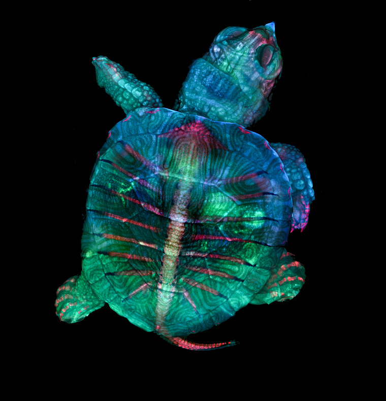 Image: Fluorescent turtle embryo, First Place
