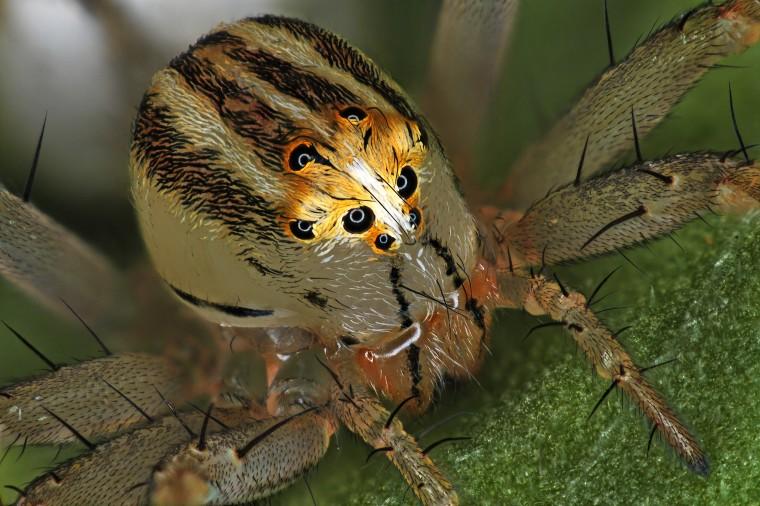 Image: Female Oxyopes dumonti (lynx) spider