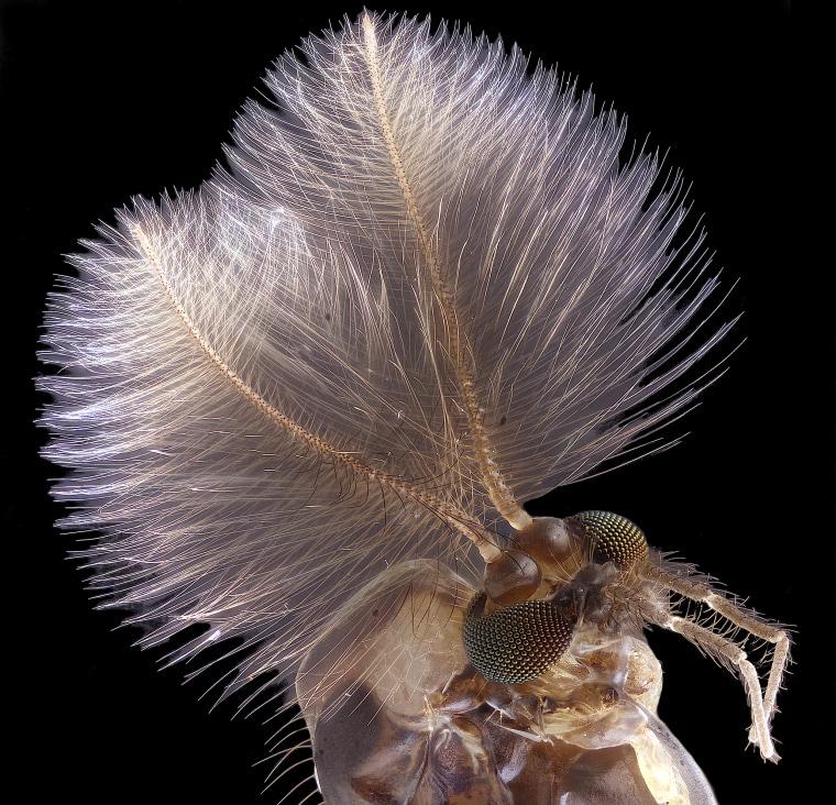 Image: Male mosquito