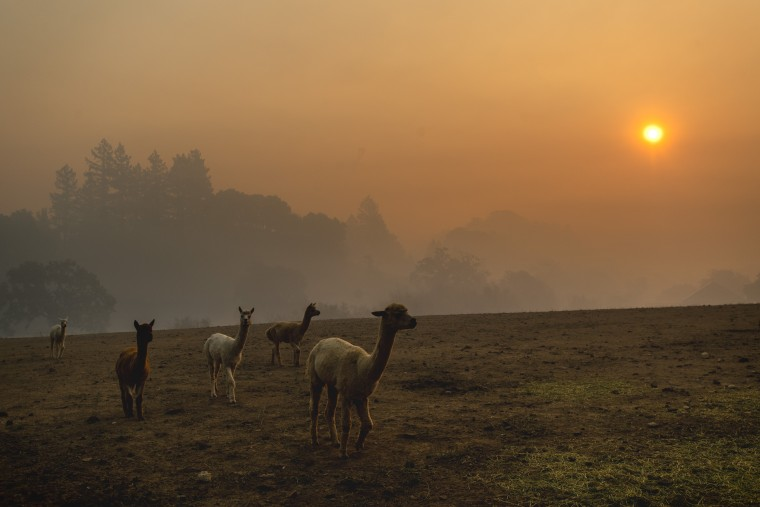 Farm animals graze in a pasture as smoke from the Kincade Fire hangs over Healdsburg, Calif., on Oct. 28, 2019.
