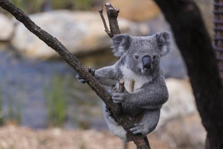 Hundreds Of Koalas Feared Dead In Australian Wildfires