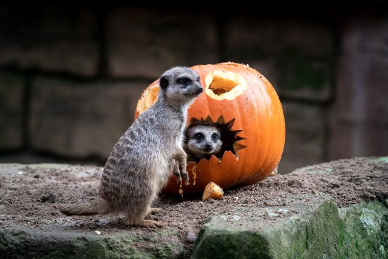 Image: TOPSHOT-GERMANY-ANIMALS-ZOO-MEERKAT-HALLOWEEN