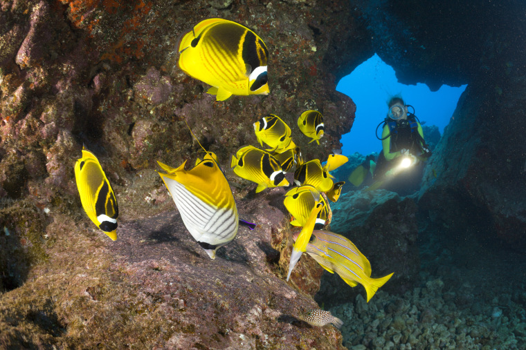 Diver and Racoon-Butterflyfishes, Chaetodon lunula, Cathedrals of Lanai, Maui, Hawaii, USA