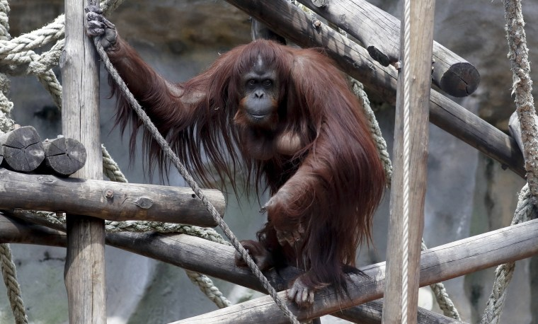 Image: Sandra the orangutan
