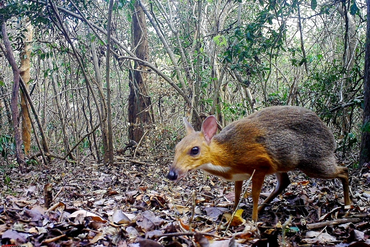 Image: A silver-backed chevrotain was captured by a camera trap in Vietnam in a photo released on Nov. 11, 2019.