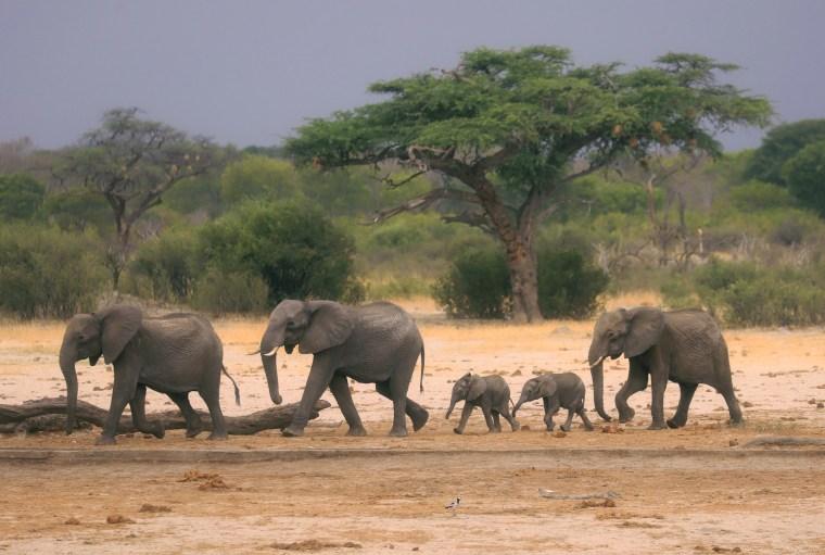 Image: A herd of elephants in Hwange National Park, Zimbabwe, on Nov. 10, 2019.