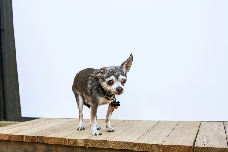 A little chihuahua named Eeyore was the first dog Greig adopted.