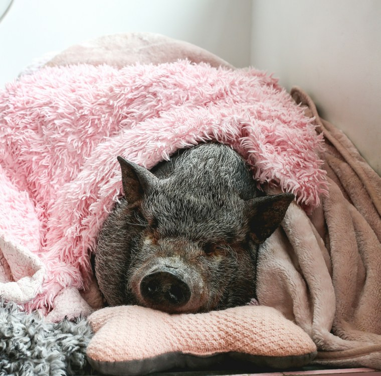 Bikini the Pig snoozes in a pink blanket.
