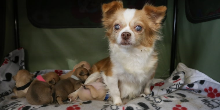 Rosa the Chihuahua and her new adopted litter.