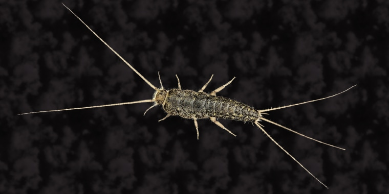How to get rid of your silverfish problem.