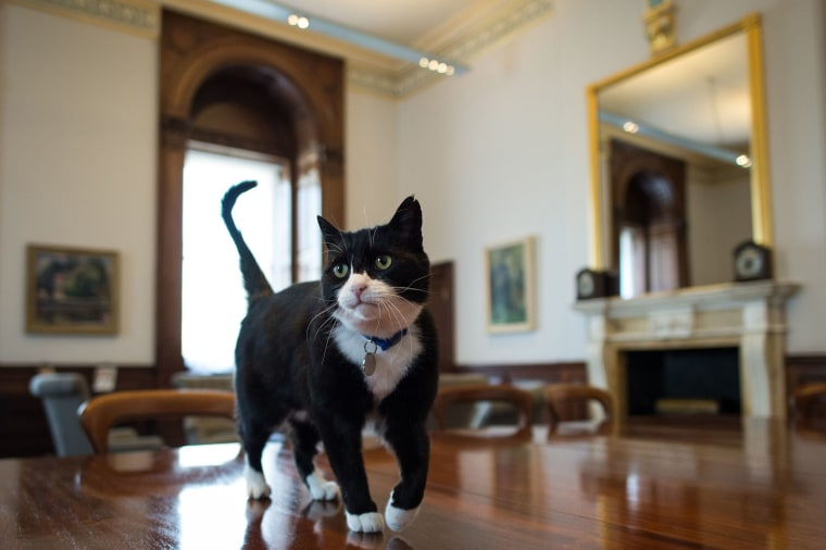Image: Chief mouser' Palmerston, a rescue cat recruited from Battersea Dogs and Cats Home explores his new surroundings in the Foreign and Commonwealth Office in London