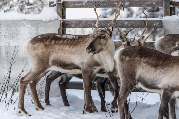 Image: Reindeer
