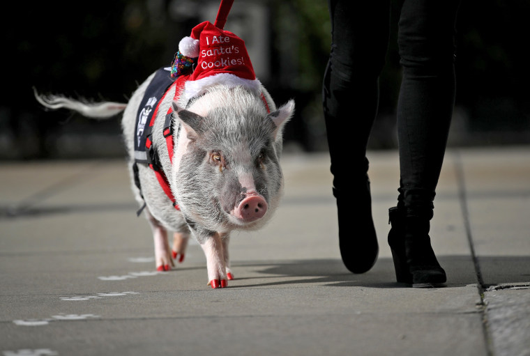 Image: Therapy Pig Eases Passengers' Travel Anxieties At San Francisco Airport