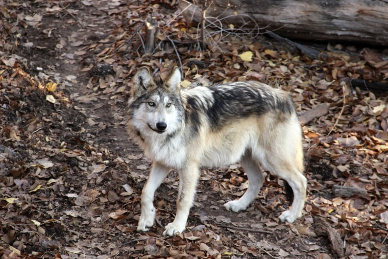 Image: Mexican gray wolf