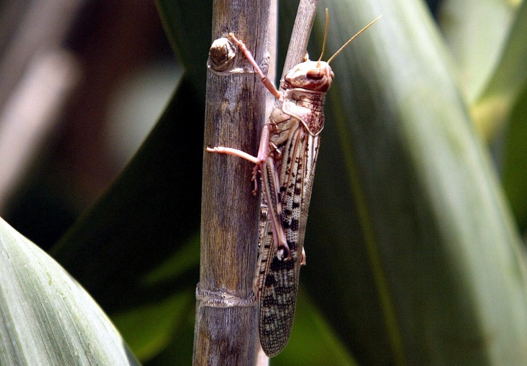 Image: FILE PHOTO: A desert locust feeds on crops in Laghouat