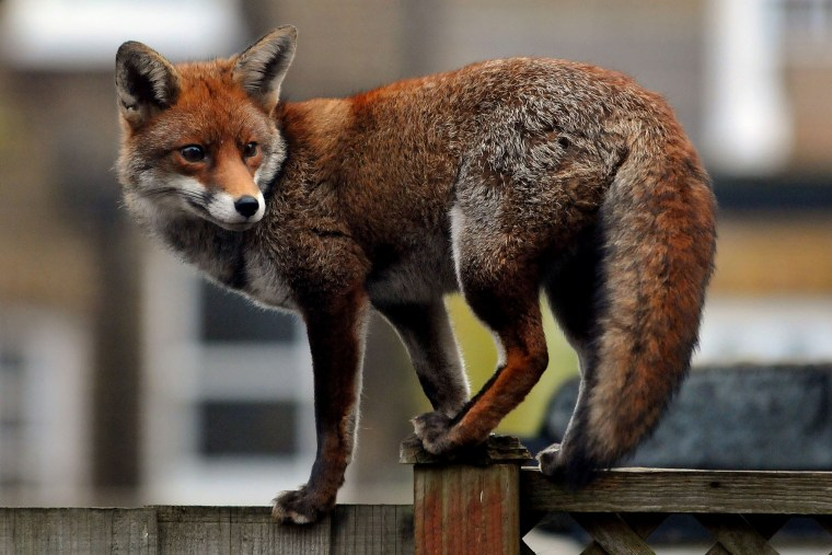Image: An urban fox prowls along a garden fence in Ealing Dean in West London, England.