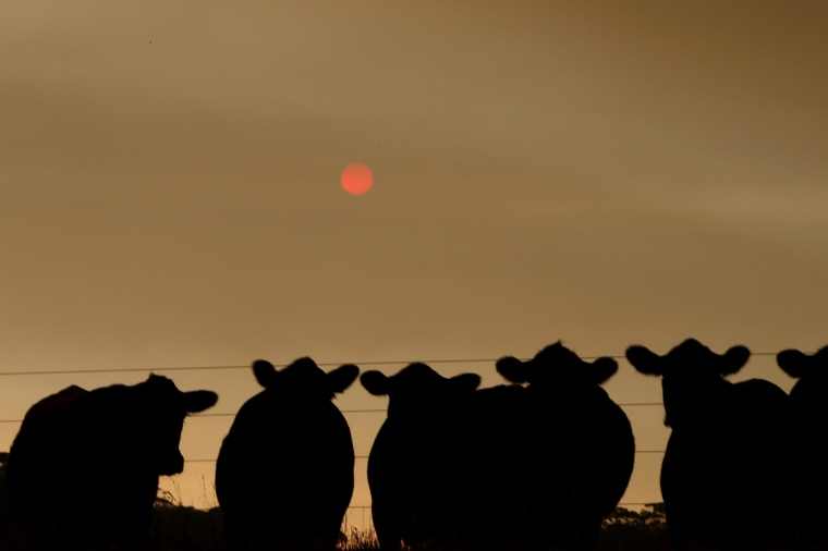 Image: Cattle under smoke-filled skies in eastern Gippsland on Jan. 2, 2020.
