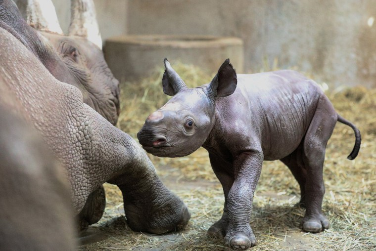 Image: A male black rhino calf, which has not been named, is seen with his mother, Doppsee after its birth at the Potter Park Zoo in Lansing