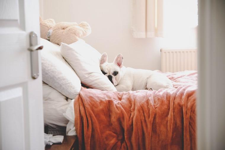 Sleepy French Bulldog on a cozy bed in a bedroom, seeing through bedroom door
