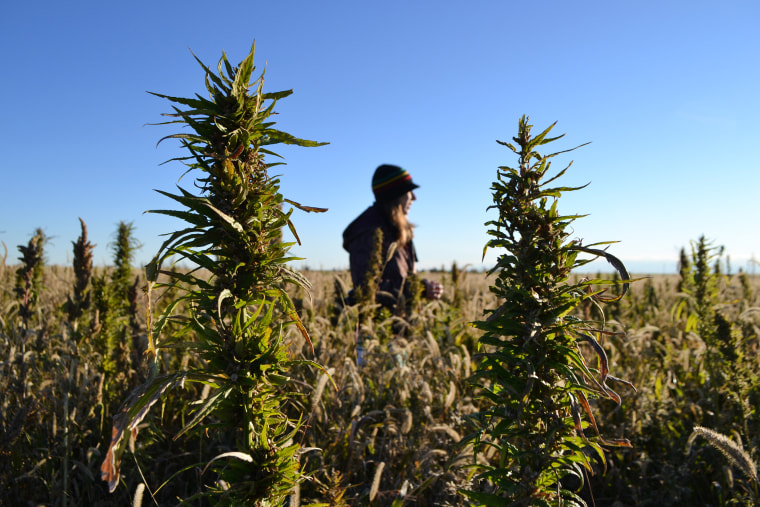 A volunteer walks through a hemp field at a farm in Springfield, Colorado