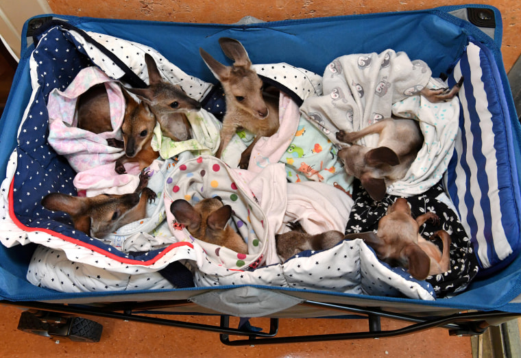 Image: Kangaroo and wallaby joeys that have been orphaned due to a mixture of road accidents, dog attacks, bushfires and drought conditions are seen in a cart as they are treated at Australia Zoo Wildlife Hospital in Beerwah