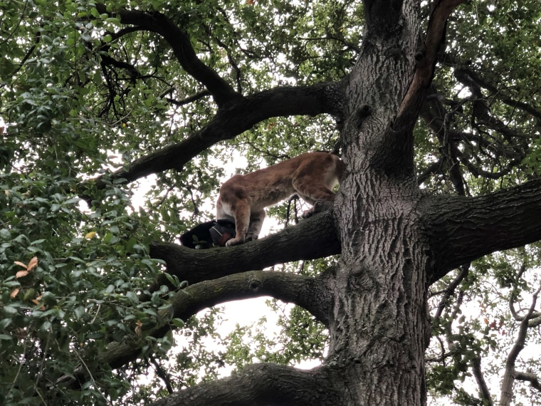 Image: A 3-year-old boy was hospitalized Monday after a mountain lion attacked him while he was walking in an Orange County, California, park with his family.