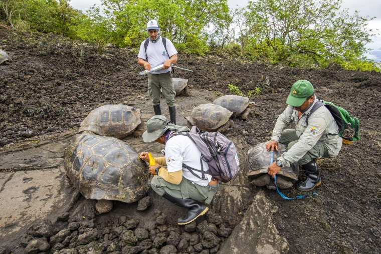 Not so 'Lonesome?' Galápagos tortoise subspecies thought extinct lives on.