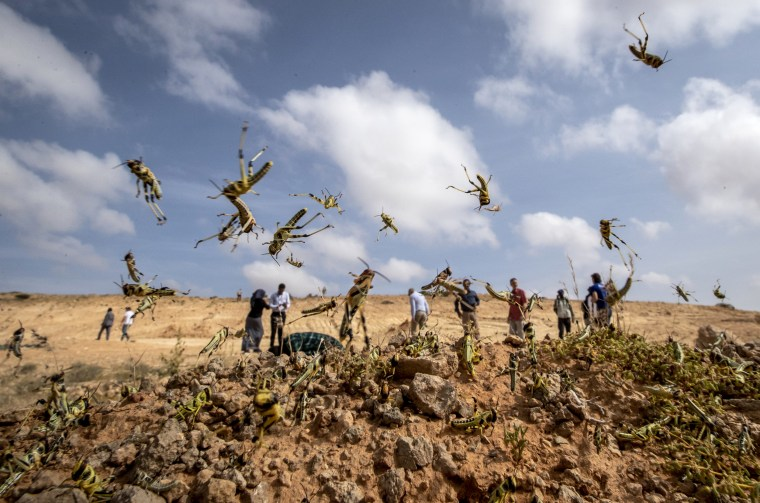 Image: Young locusts jump in the air near Garowe, Somalia, on Feb. 5, 2020.