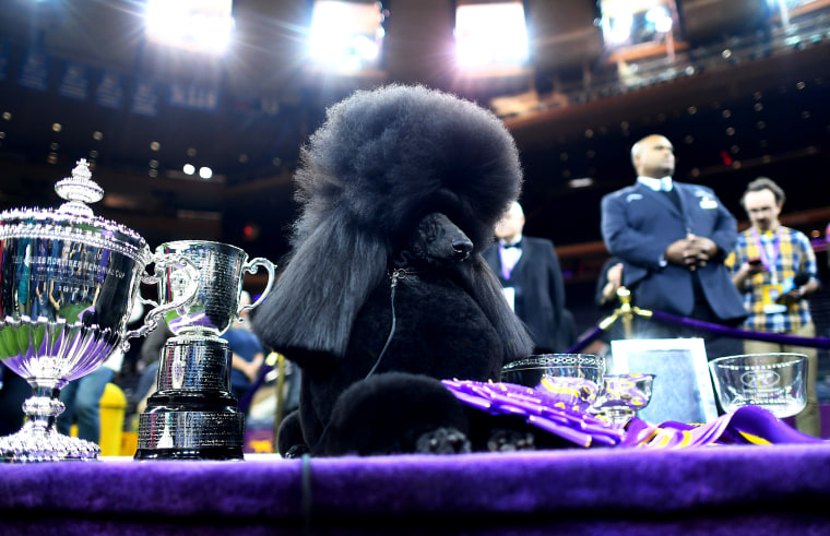 Image: Siba, the standard poodle, poses with the Best in Show trophy at the 144th Annual Westminster Kennel Club Dog Show at Madison Square Garden on Feb. 11, 2020.