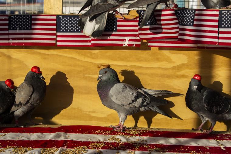 MAGA-hat-wearing pigeons Las Vegas