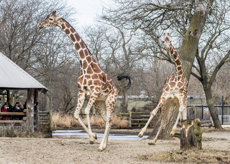 Giraffes Arnieta (left) and Potoka (right) stretch their legs outside for the first time following winter.
