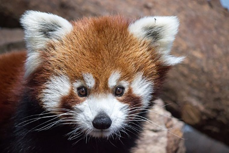 Parker, the Birmingham Zoo's 4-year-old-male red panda