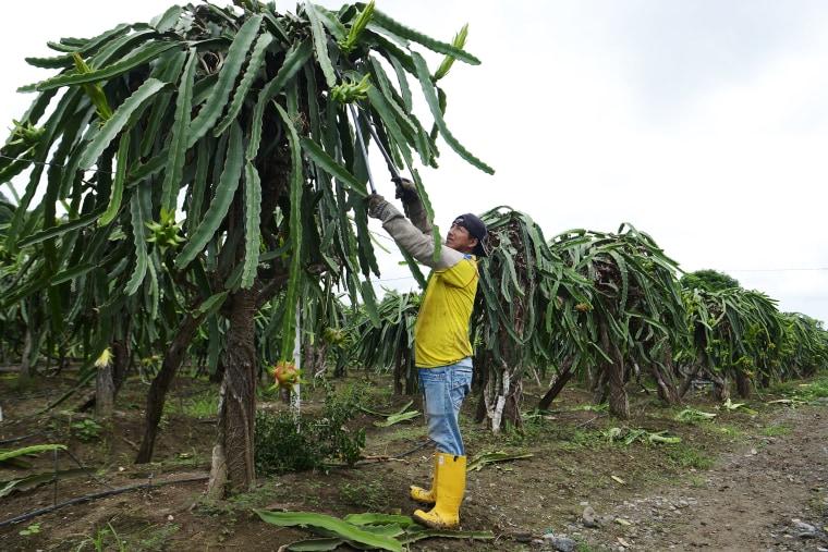 Image: A worker prunes dragon fruit plants at La Voluntad de Dios farm in El Progreso, Ecuador