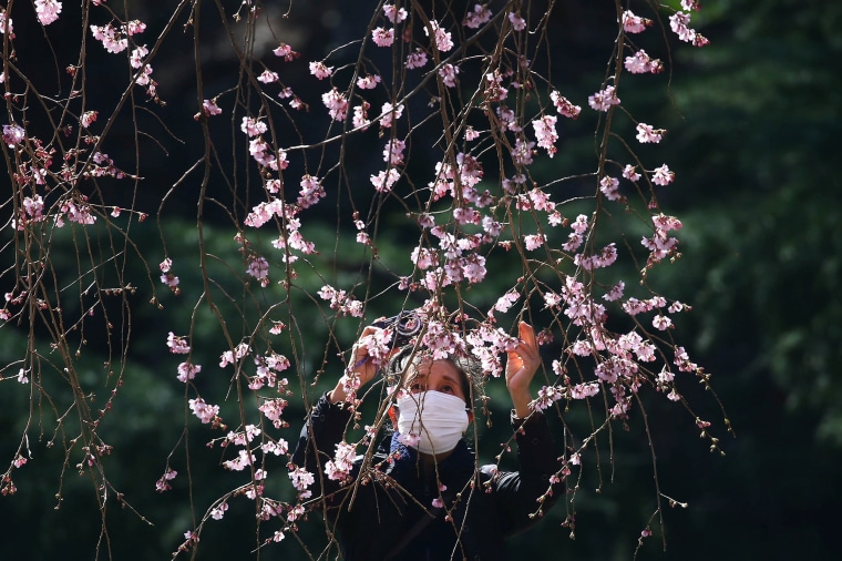Image: A visitor wearing a protective face mask takes photos of early flowering Kanzakura cherry blossoms  at Shinjuku Gyoen National Garden in Tokyo