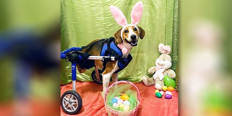 Lieutenant Dan, a dog that uses a wheelchair, has been named as the honorary Cadbury Easter Bunny for 2020.