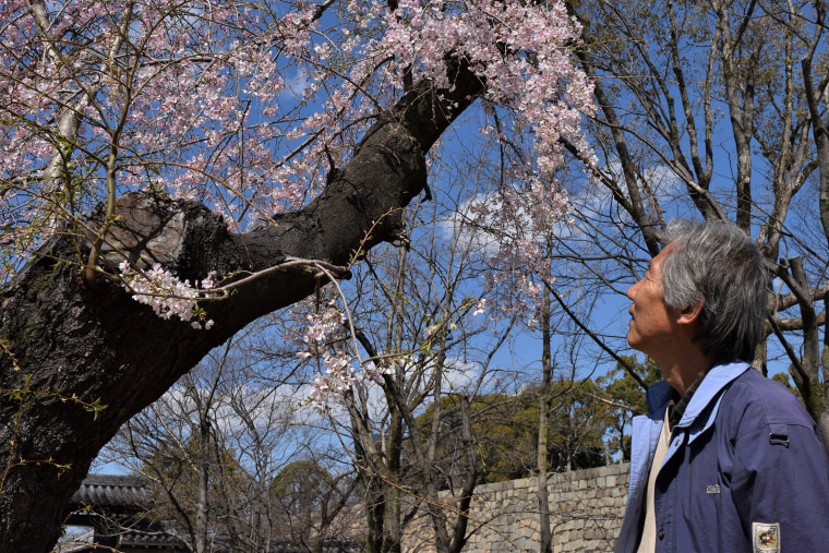 Image: Osaka native Hiroshi Nakajima, 65, gazes at the cherry blossoms in Osaka Park, in Osaka, Japan.