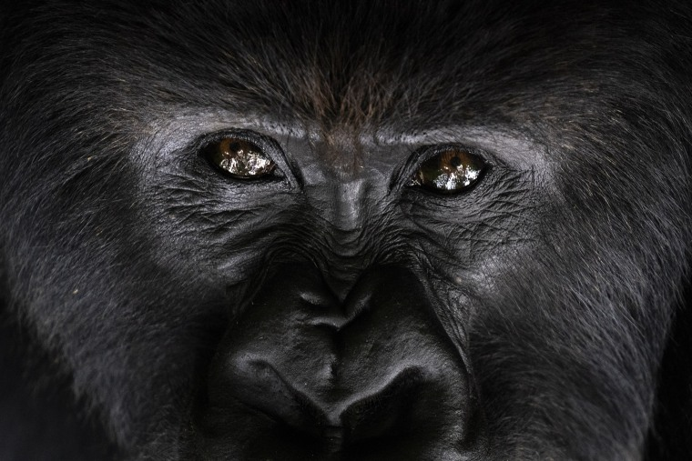 Image: A silverback mountain gorilla named Segasira sits among plants in the Volcanoes National Park