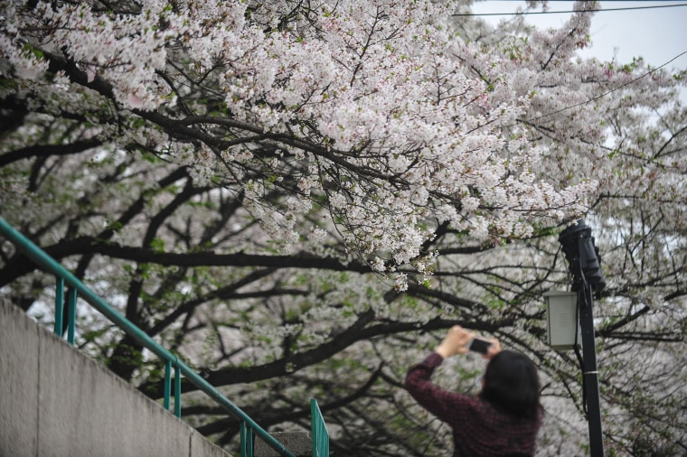 Image: A resident takes photos of cherry blossoms