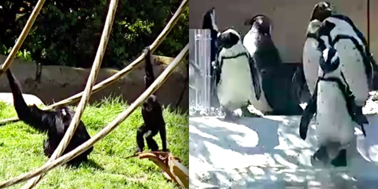 Gorillas and Penguins at the Zoo