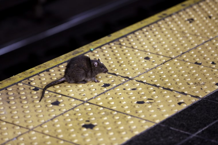 IMage: A rat crosses a Times Square subway platform in New York in 2015.