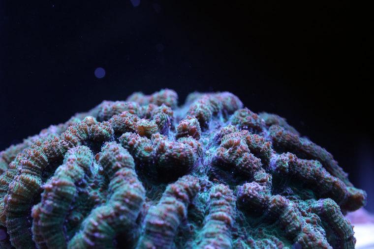 Image: Ridged cactus coral