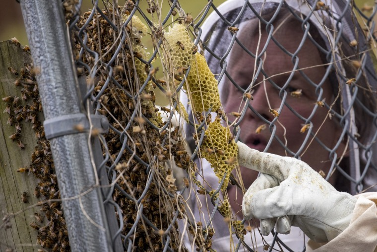 Image: Beekeeper Sean Kennedy inspects a swarm of honey bees, Monday, April 20, 2020, in Washington.